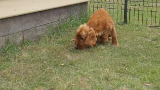 Zara-Cocker Spaniel-Banksia Park Puppies - 5 of 24