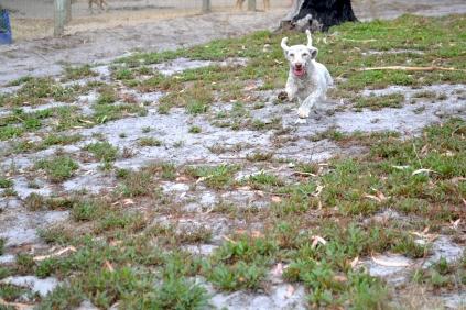 BeeBee-Moodle-Banksia Park Puppies - 1 of 33