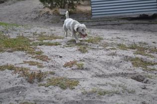 BeeBee-Moodle-Banksia Park Puppies - 11 of 33
