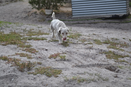 BeeBee-Moodle-Banksia Park Puppies - 12 of 33