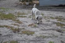 BeeBee-Moodle-Banksia Park Puppies - 13 of 33