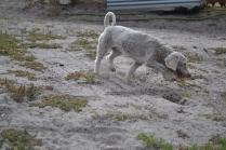 BeeBee-Moodle-Banksia Park Puppies - 14 of 33