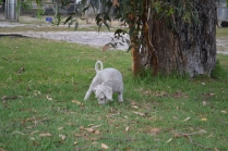 BeeBee-Moodle-Banksia Park Puppies - 16 of 33