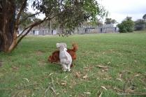 BeeBee-Moodle-Banksia Park Puppies - 18 of 33