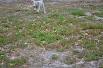 BeeBee-Moodle-Banksia Park Puppies - 2 of 33