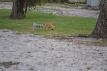 BeeBee-Moodle-Banksia Park Puppies - 25 of 33