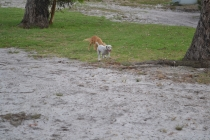 BeeBee-Moodle-Banksia Park Puppies - 26 of 33