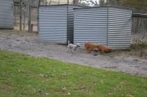 BeeBee-Moodle-Banksia Park Puppies - 27 of 33
