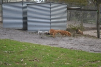 BeeBee-Moodle-Banksia Park Puppies - 28 of 33