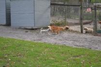 BeeBee-Moodle-Banksia Park Puppies - 29 of 33