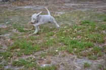 BeeBee-Moodle-Banksia Park Puppies - 3 of 33