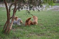 BeeBee-Moodle-Banksia Park Puppies - 30 of 33