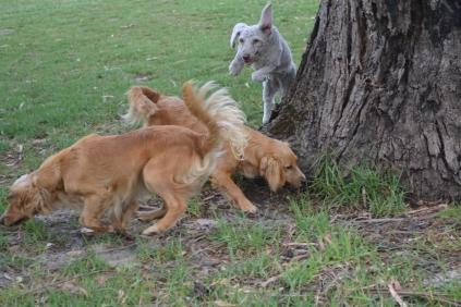 BeeBee-Moodle-Banksia Park Puppies - 31 of 33