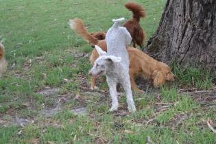 BeeBee-Moodle-Banksia Park Puppies - 32 of 33