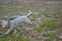 BeeBee-Moodle-Banksia Park Puppies - 4 of 33