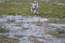 BeeBee-Moodle-Banksia Park Puppies - 5 of 33