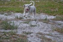 BeeBee-Moodle-Banksia Park Puppies - 6 of 33