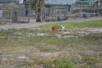 BeeBee-Moodle-Banksia Park Puppies - 8 of 33