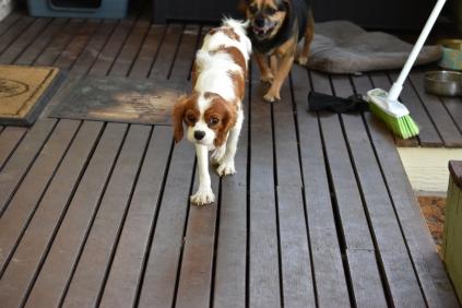 Bess-Cavalier-Banksia Park Puppies - 1 of 32
