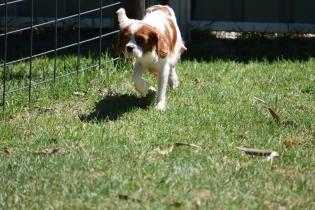 Bess-Cavalier-Banksia Park Puppies - 10 of 32