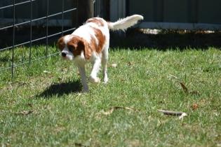 Bess-Cavalier-Banksia Park Puppies - 11 of 32