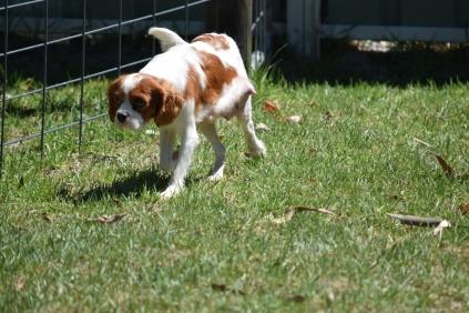 Bess-Cavalier-Banksia Park Puppies - 12 of 32