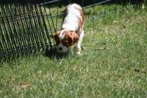 Bess-Cavalier-Banksia Park Puppies - 13 of 32