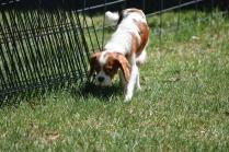 Bess-Cavalier-Banksia Park Puppies - 14 of 32