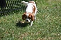 Bess-Cavalier-Banksia Park Puppies - 15 of 32