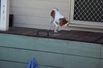 Bess-Cavalier-Banksia Park Puppies - 16 of 32
