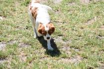 Bess-Cavalier-Banksia Park Puppies - 18 of 32