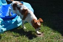 Bess-Cavalier-Banksia Park Puppies - 19 of 32