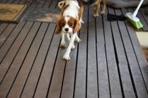 Bess-Cavalier-Banksia Park Puppies - 2 of 32