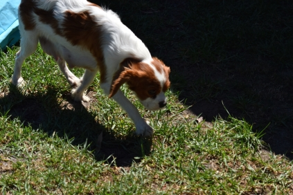 Bess-Cavalier-Banksia Park Puppies - 20 of 32