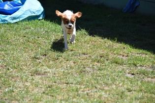 Bess-Cavalier-Banksia Park Puppies - 21 of 32