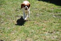 Bess-Cavalier-Banksia Park Puppies - 24 of 32