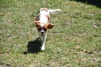 Bess-Cavalier-Banksia Park Puppies - 25 of 32
