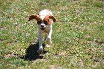 Bess-Cavalier-Banksia Park Puppies - 26 of 32
