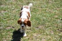 Bess-Cavalier-Banksia Park Puppies - 27 of 32