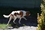Bess-Cavalier-Banksia Park Puppies - 29 of 32