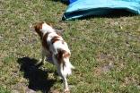 Bess-Cavalier-Banksia Park Puppies - 32 of 32