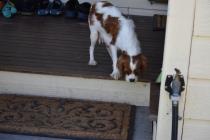 Bess-Cavalier-Banksia Park Puppies - 4 of 32