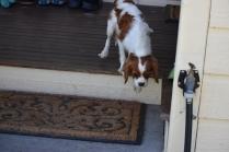 Bess-Cavalier-Banksia Park Puppies - 5 of 32
