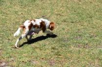 Bess-Cavalier-Banksia Park Puppies - 6 of 32