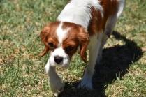Bess-Cavalier-Banksia Park Puppies - 8 of 32