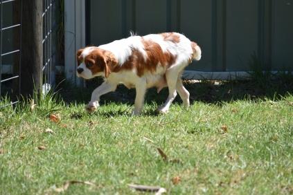 Bess-Cavalier-Banksia Park Puppies - 9 of 32