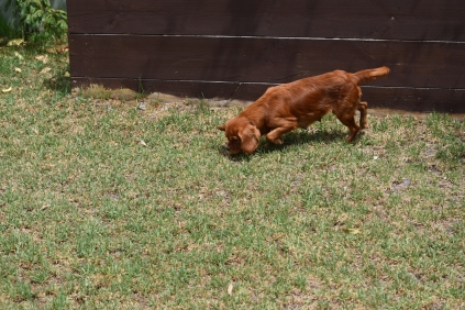 Bobby-Cavalier-Banksia Park Puppies - 2 of 24