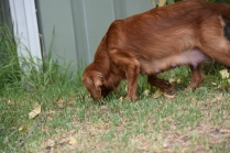 Bobby-Cavalier-Banksia Park Puppies - 20 of 24