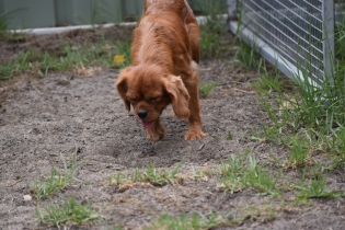 Bobby-Cavalier-Banksia Park Puppies - 23 of 24