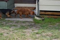 Bobby-Cavalier-Banksia Park Puppies - 3 of 24